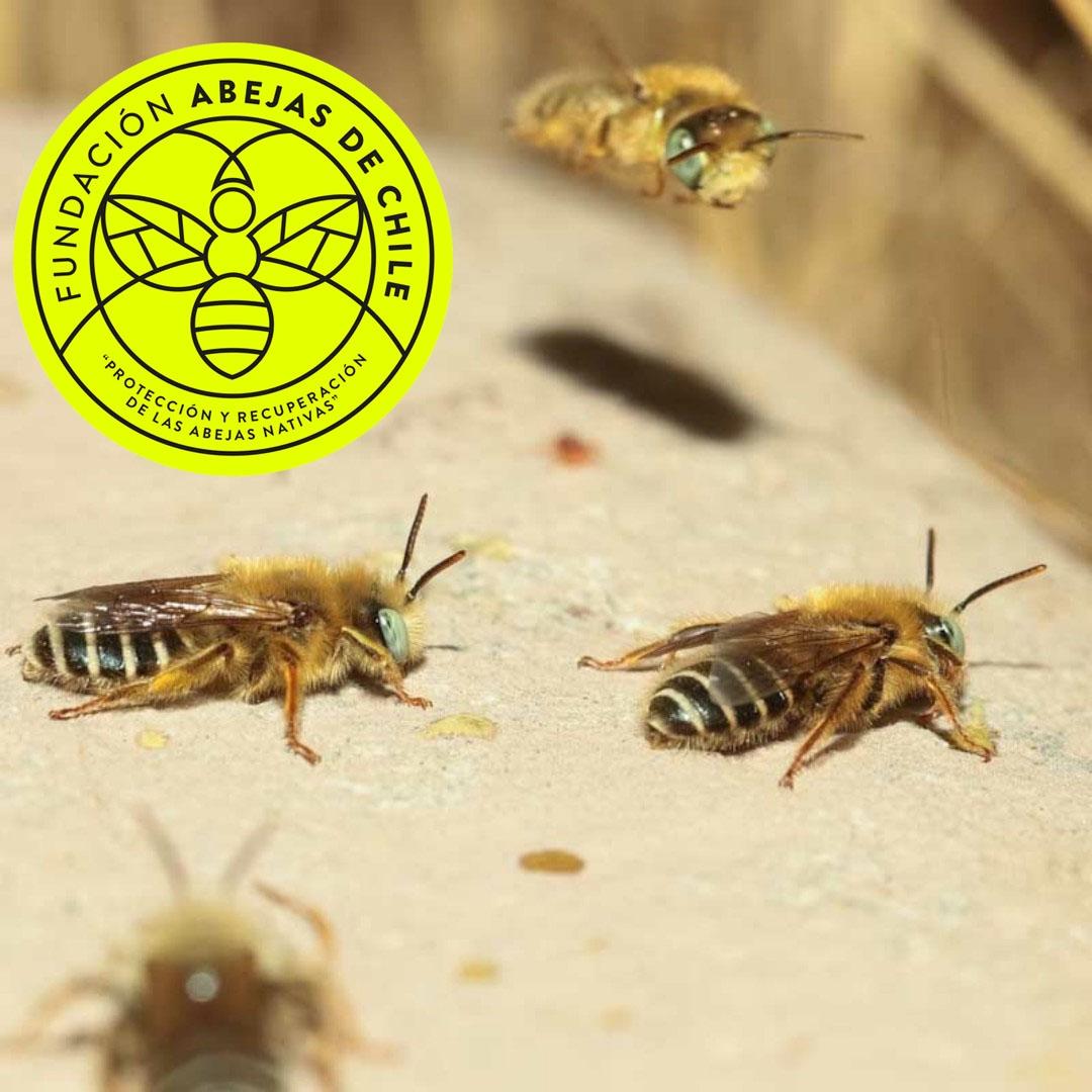 Acamptopoeum-antophora-paranaensis-apidae-abeja-nativa-de-chile-abeja-chilena-wild-bee-chilenas-abejas-pablo-vial-valdes-salvar-ayudar-a-las-save