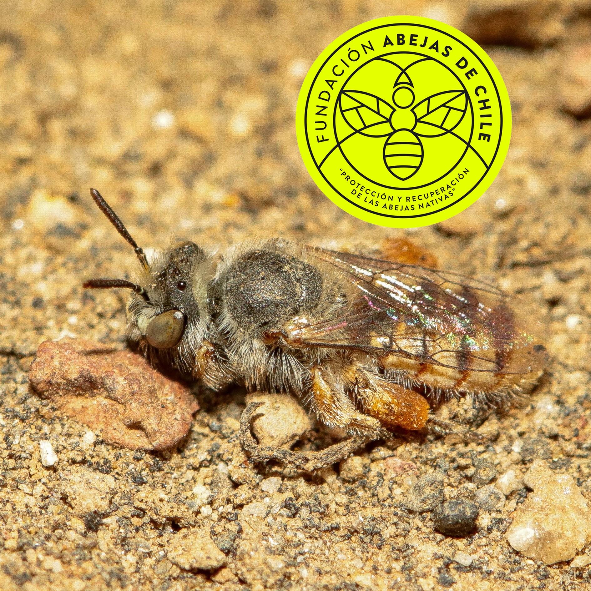 Calliopsis-rigormortis-Pablo-Vial-Valdés-Abejas-abeja-nativa-endémica-chile-wild-bee-de-experto-especialista-investigador-suelos-nidos-1