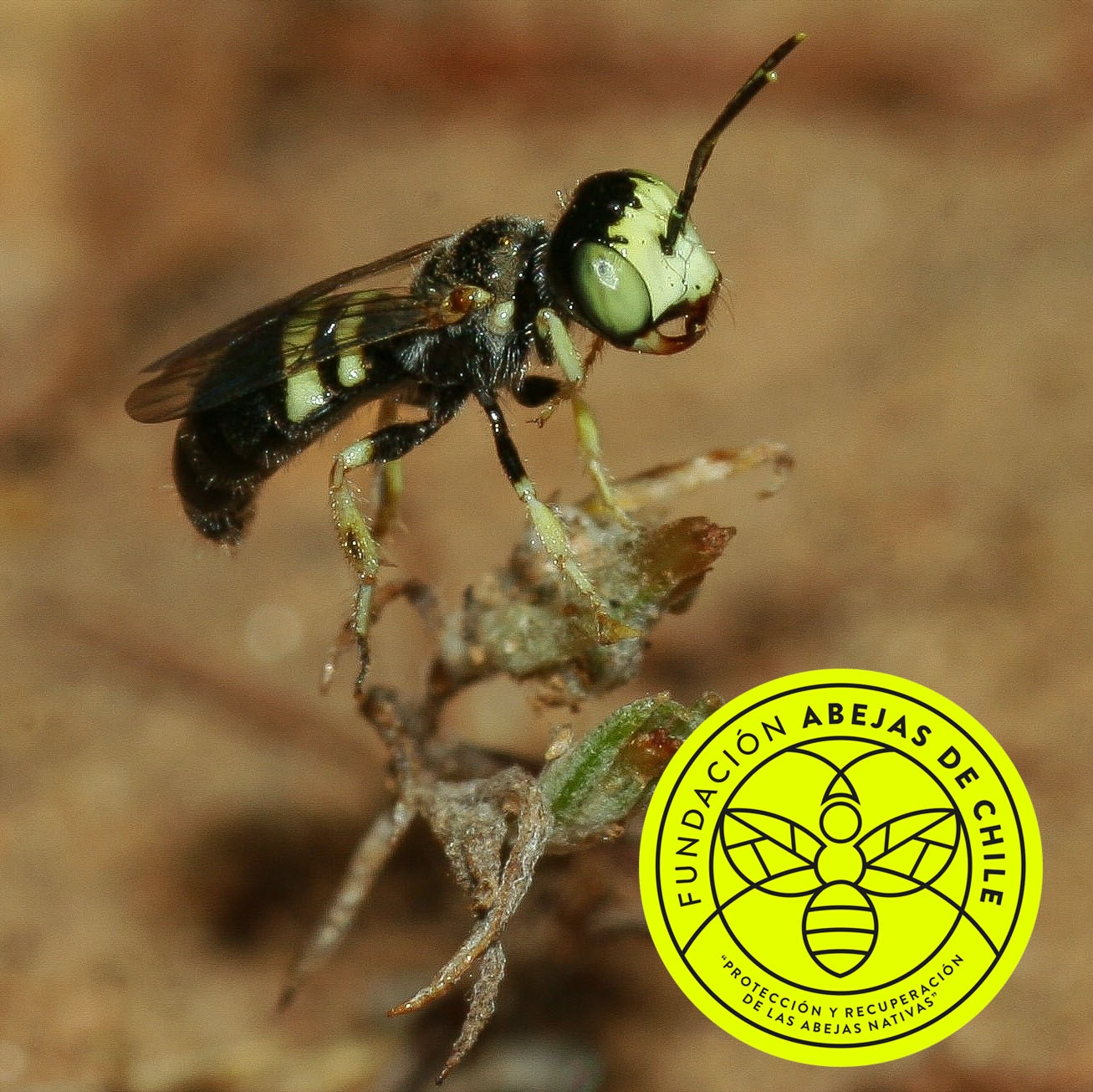 Liphanthus-sabulosus-Pablo-Vial-Valdés-Abejas-abeja-nativa-endémica-chile-wild-bee-de-bees-hormiga-polinizacion