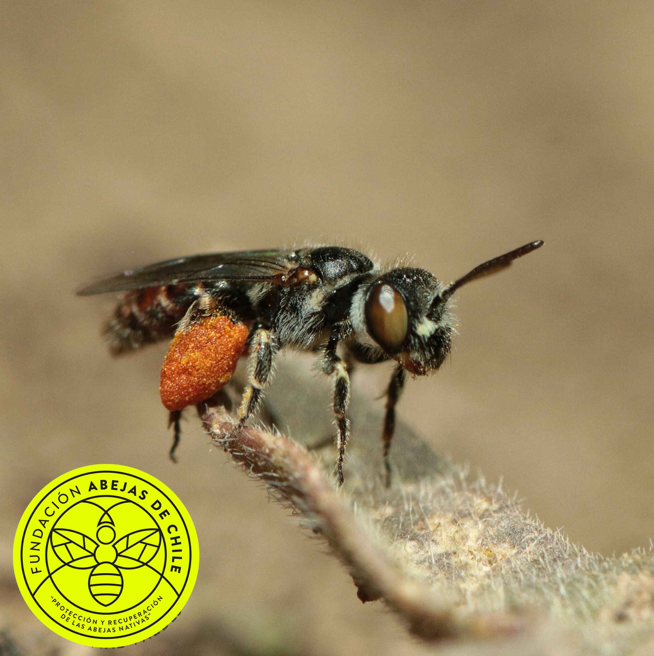 Liphanthus-sabulosus-Pablo-Vial-Valdés-Abejas-abeja-nativa-endémica-chile-wild-bee-de-experto-especialista-investigador-pequeñas